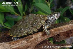Cagles-map-turtle-on-log